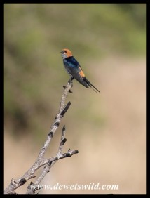 Lesser Striped Swallow - welcome sign that spring is around the corner!