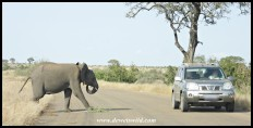Sir Elephant challenging a vehicle in the Kruger National Park