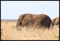 Elephant matriarch with impressive tusks