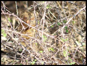 Curious Slender Mongoose peeping from within a thornbush