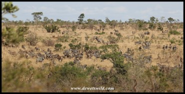 Huge herds of plains zebra congregating along the Mnondozi stream