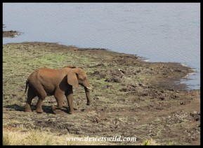 Elephant coming to drink from Mlondozi Dam