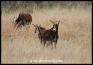 Sable Antelope calves