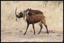 Sable Antelope heifer