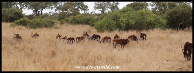 Herd of Sable Antelope on the plains between Munstshe Mountain and the Mnondozi stream