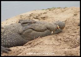 Huge Nile Crocodile at the Lower Sabie causeway