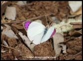 Common Purple Tip