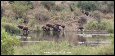 Buffalo herd drinking from the Sabie River