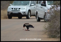 Bateleur cleaning up roadkill