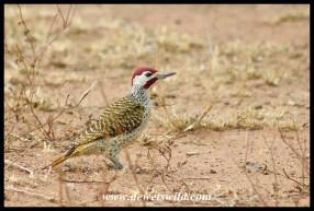 Male Bennett's Woodpecker