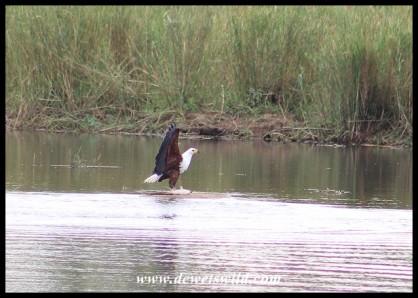 Fish Eagle with catfish prey
