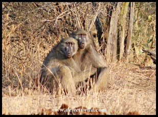 Baboons huddling together in the rays of early morning