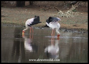 Yellow-billed Storks at Sunset Dam