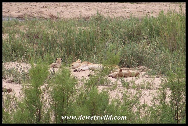 Lionesses and cubs laying claim to a Sand Bank in the Sabie River