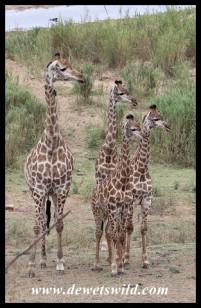 Wary family of giraffes