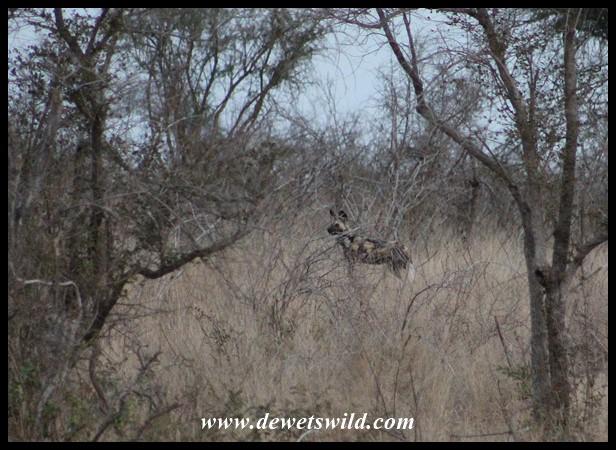 African Wild Dog on the alert