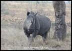 White Rhino bull