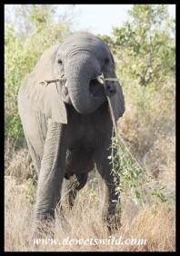 Sir Elephant wielding his mighty sword (photo by Joubert)