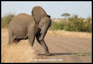 Sir Elephant challenging a vehicle in the Kruger National Park (photo by Joubert)