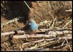 Blue Waxbill (photo by Joubert)