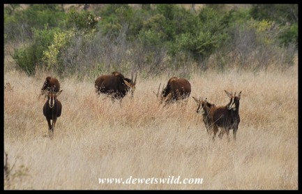 Herd of Sable Antelope on the plains between Munstshe Mountain and the Mnondozi stream (photo by Joubert)
