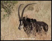 Sable Antelope bull (photo by Joubert)