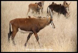 Sable Antelope heifer (photo by Joubert)