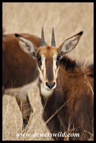 Sable Antelope calf (photo by Joubert)