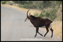 Sable Antelope cow (photo by Joubert)