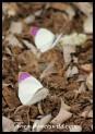 Common Purple Tips (photo by Joubert)
