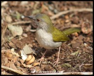 Green-backed Camaroptera (photo by Joubert)