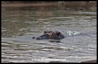 Hippo in the Sabie River (photo by Joubert)