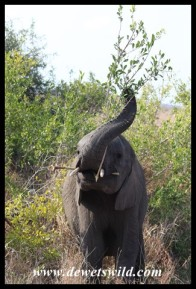 Elephant youngster wielding his weapon of choice