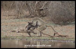 Baboon murder