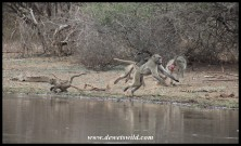 Baboon attack at Sunset Dam