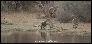A crocodile breaks up the fight