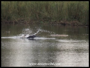 Is it the Eagle or the catfish splashing..? (photo by Joubert)