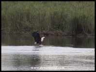Fish Eagle with catfish prey (photo by Joubert)