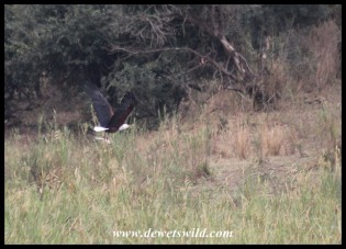 Now with its composure regained, the Fish Eagle sets off for a favourite perch (photo by Joubert)