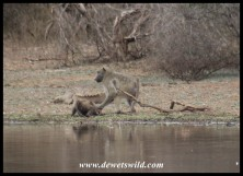Baboon attack at Sunset Dam (photo by Joubert)