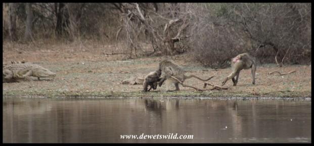 A crocodile breaks up the fight (photo by Joubert)