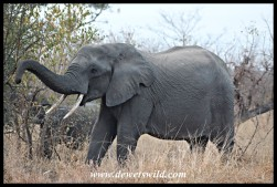 Elephant conductor (photo by Joubert)