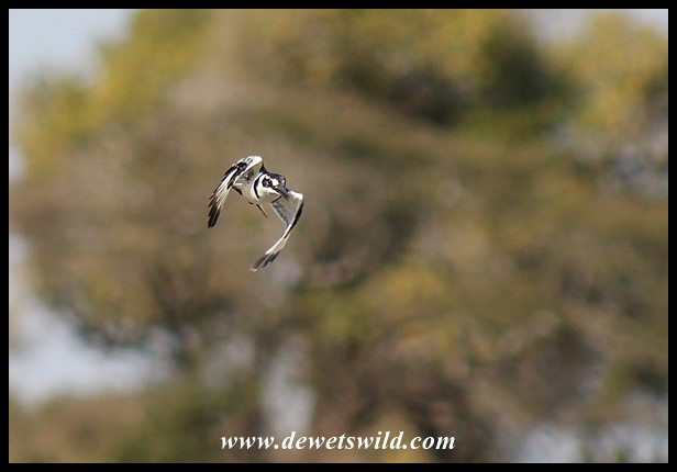 Pied Kingfisher on the move (photo by Joubert)