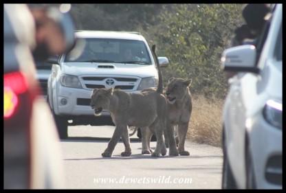 Lion roadblock (photo by Joubert)