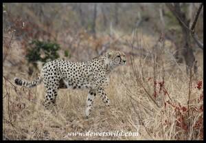 Hunting Cheetah (photo by Joubert)