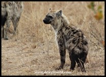 Fluffy Spotted Hyena youngster (photo by Joubert)