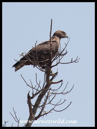 Brown Snake Eagle (photo by Joubert)