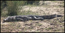Enormous Nile Crocodile (photo by Joubert)