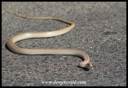 Olive Grass Snake (photo by Joubert)