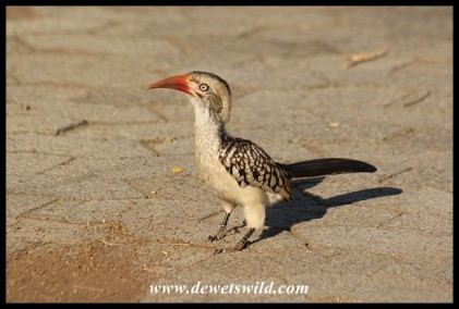 Satara's birds were invited to the birthday party. This is a Red-billed Hornbill (photo by Joubert)